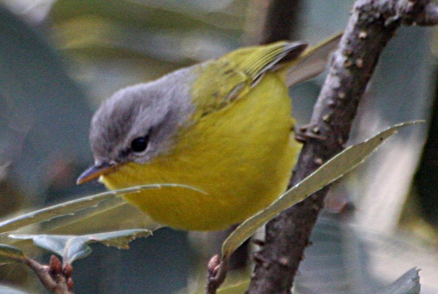 Grey-hooded Warbler /Phylloscopus xanthoschistos/
