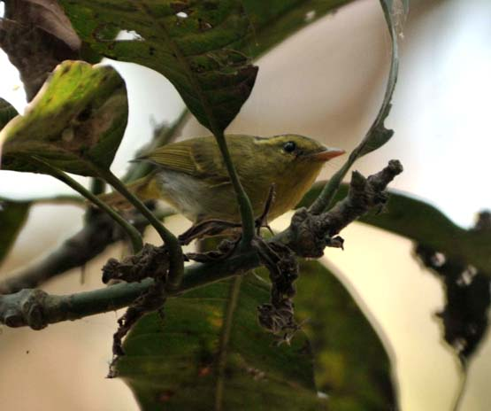 Yellow-vented Warbler photograph