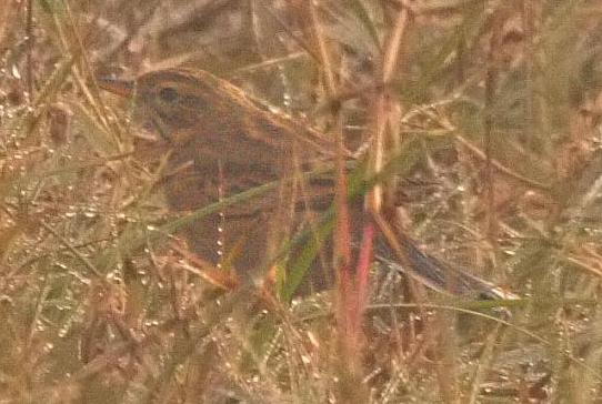 Richard's Pipit photograph