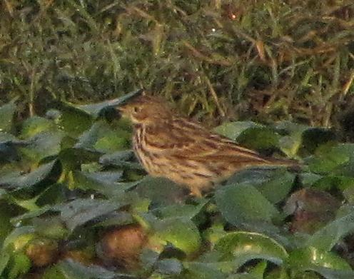 Red-throated Pipit photograph