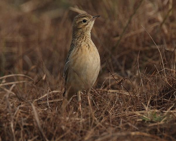 Blyth's Pipit photograph