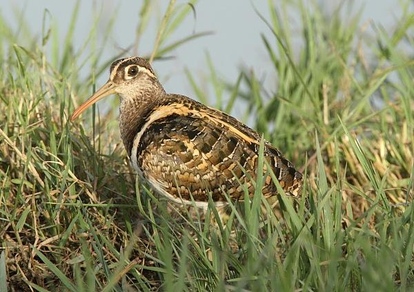 Male Greater Painted-snipe
